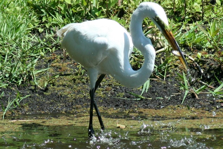 ElR_Egret_Fish_040212 (Small).JPG