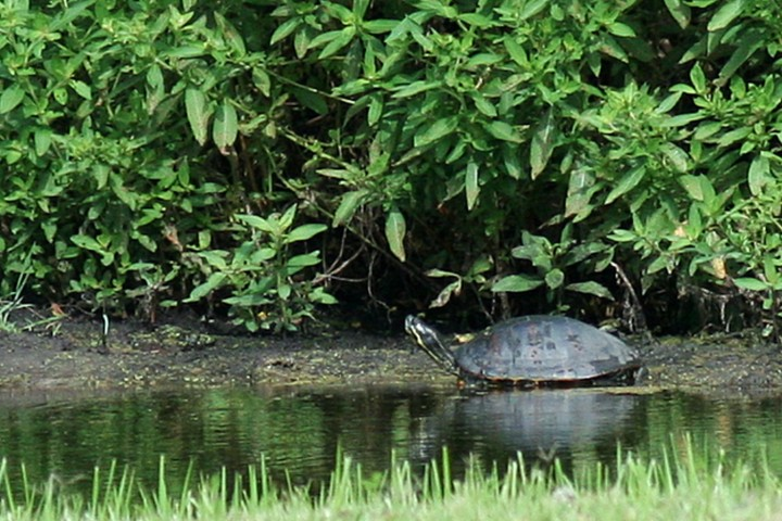 ElR_Turtle_040212 (Small).jpg