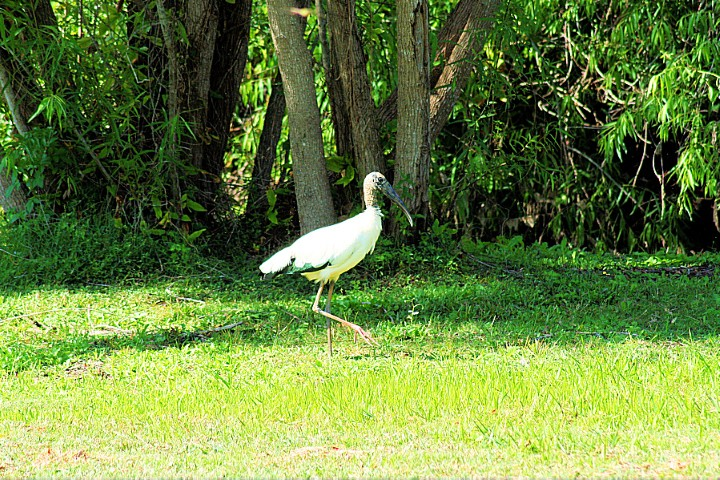 ElR_Woodstork_1_2012 (Small).JPG