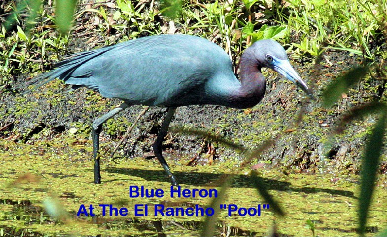 ElR_blueheron2012 (Small).JPG