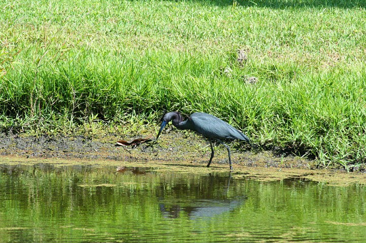 ElR_blueheron2012-4 (Small).JPG